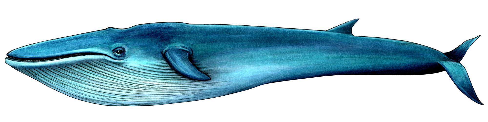 シロナガスクジラの画像 p1_25